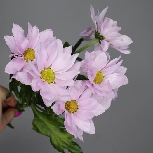 Хризантема кустовая ромашковая (розовая)