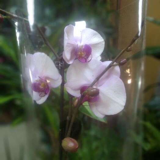 Комнатное растение. Орхидея