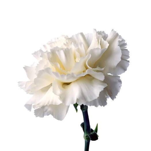 гвоздика белая 9 мая День Победы
