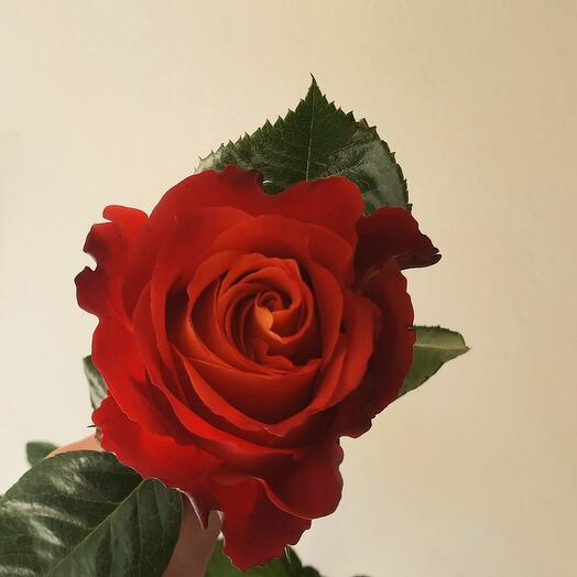 Розы Atomic Эквадор
