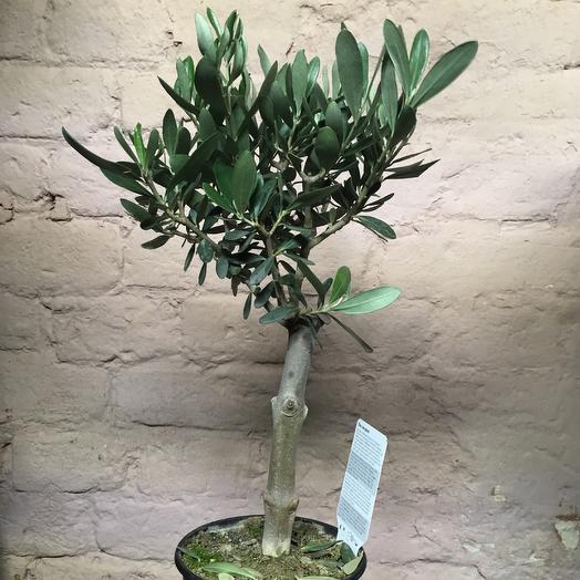 Олива Европейская на штамбе: букеты цветов на заказ Flowwow