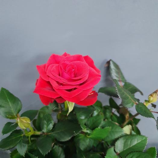 Роза Кордана d 10,5 h 25