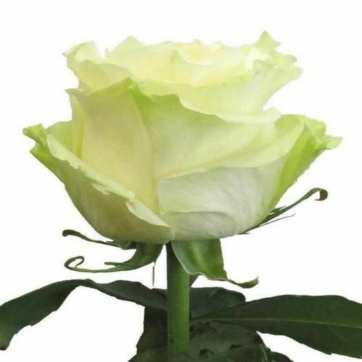 Роза мондиаль 60см Эквадор