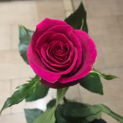 Роза Голландия 80 см
