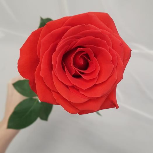 Rose of scarlet