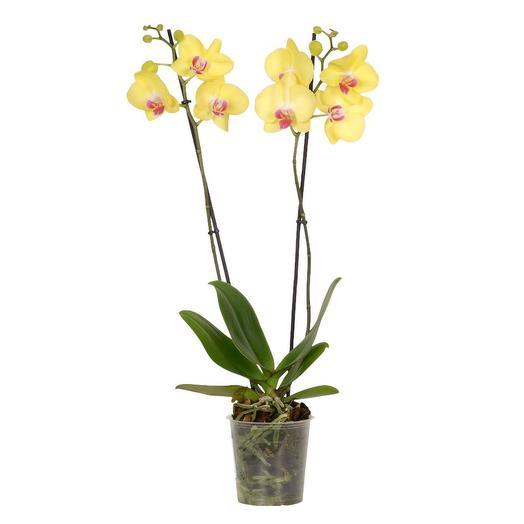 Орхидея Фаленопсис «Лаймлайт»