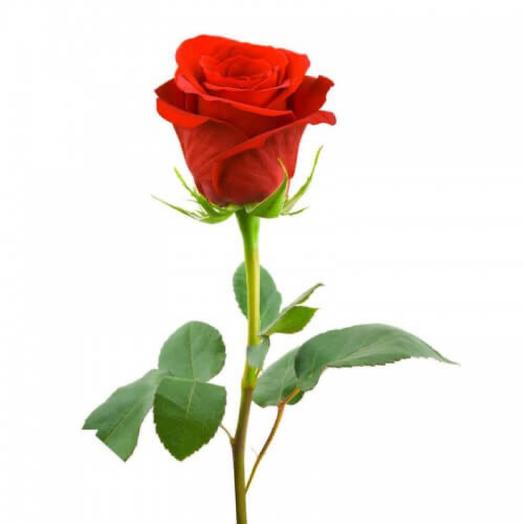 Роза кенийская 40 см