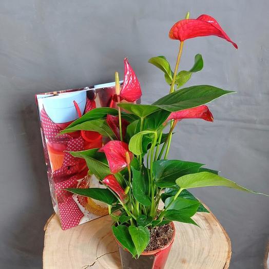 """Комнатное растение """"Антуриум"""" В подарочной пакете"""
