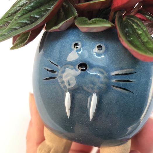 Кашпо морской котик с пеперомией россо