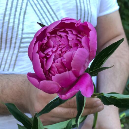 Пион розовый премиум качество