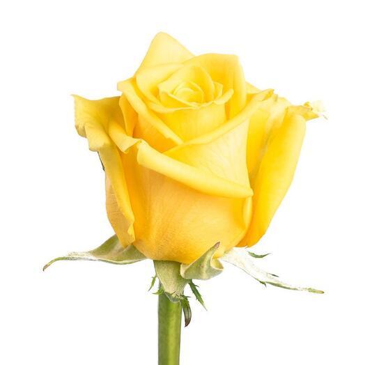 Роза Эквадорская сорта High Exotic 60см