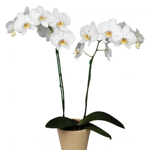 Орхидея Фаленопсис 2 ствольная микс: букеты цветов на заказ Flowwow