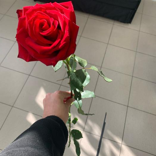 Роза голландская 1м