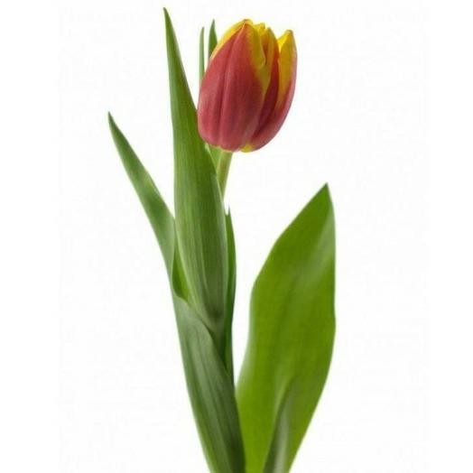 Красно-жёлтый тюльпан
