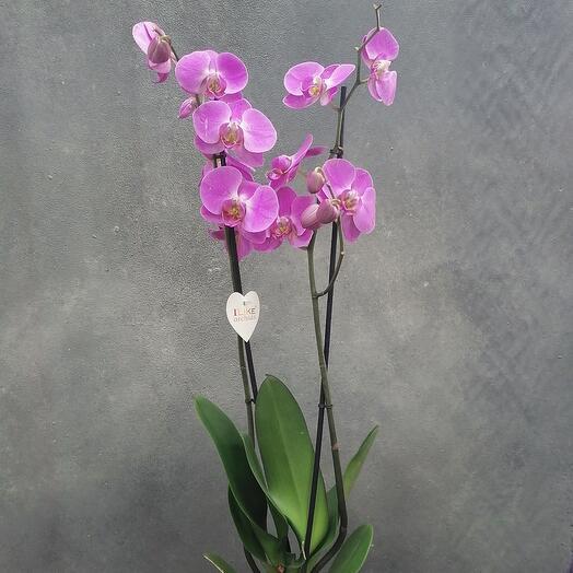 Orchid (орхидея)