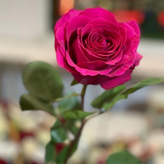 Эквадорская роза pink floyd 60-70см
