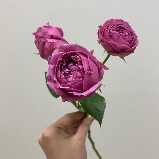 Кустовая пионовидная Роза «Misty babbles