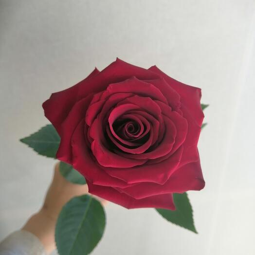 Красные голландские розы Эксплорер