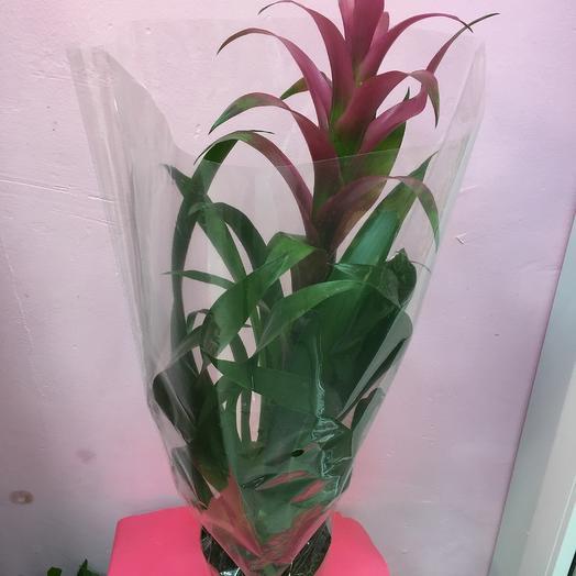 Гузмания Фрея: букеты цветов на заказ Flowwow