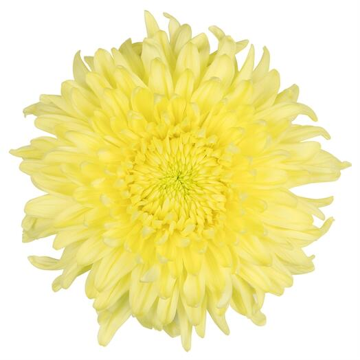 Хризантема магнум желтая