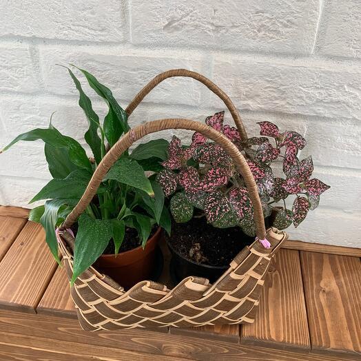 Комнатное растение в корзинке