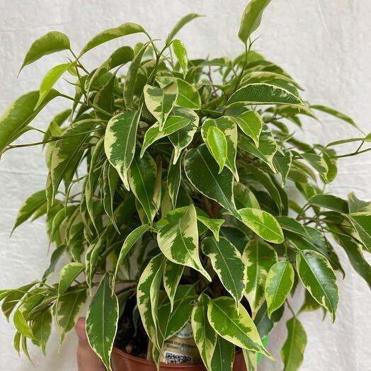Комнатное растение Фикус Беджамин