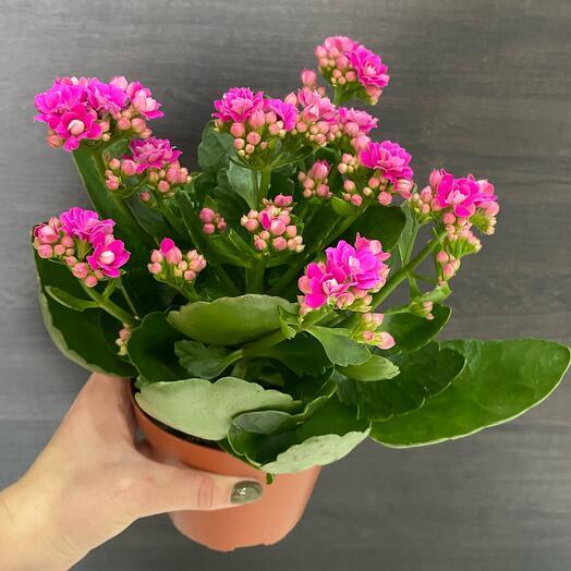 Комнатное растение каланхоэ розовая