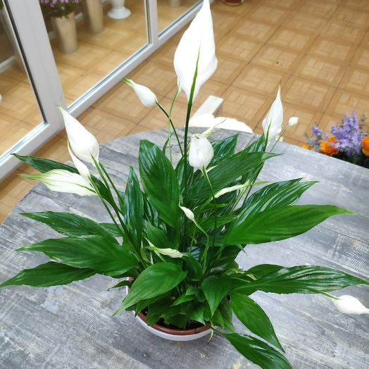 Спатифиллум в кашпо: букеты цветов на заказ Flowwow