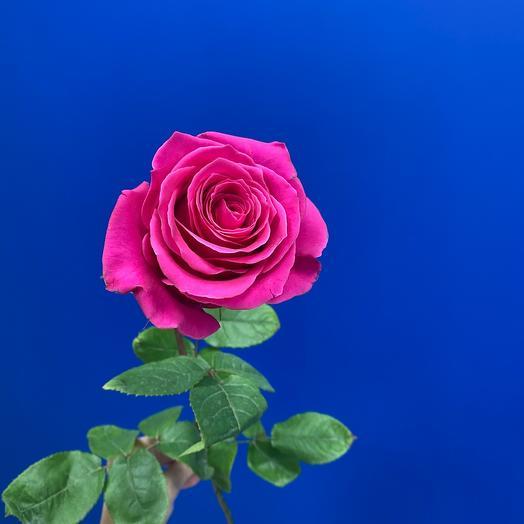 Роза Пинк Флойд Эквадор 60 см