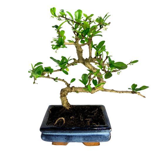 Бонсай Кармона «Чайное Дерево»