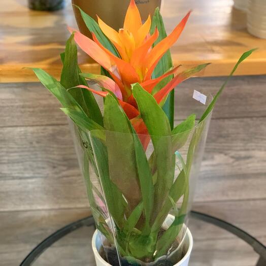 Комнатное растение «Гузмания»
