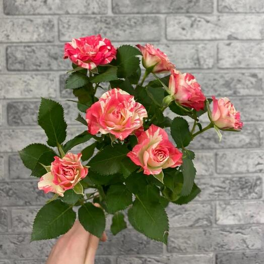 Роза кустовая Fire Works