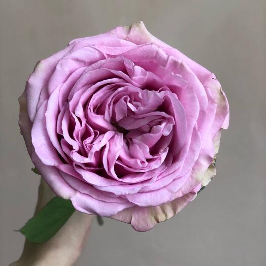 Роза Квинс Кроун (70см)