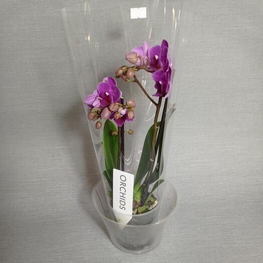 Комнатное растение орхидея Фаленопсис мульти