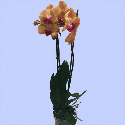 Орхидея  двуствольная: букеты цветов на заказ Flowwow
