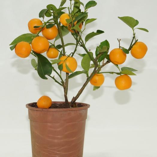 Мандариновое дерево Япония: букеты цветов на заказ Flowwow