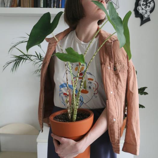Алоказия зебрина: букеты цветов на заказ Flowwow