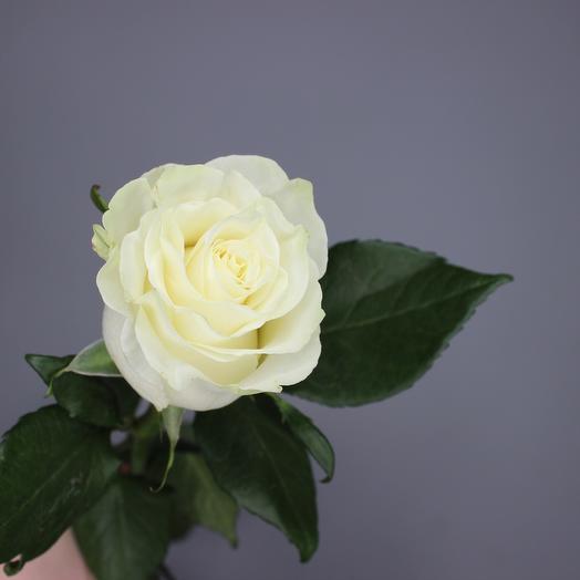 Роза PLAYA BLANCA (белая) 80 см
