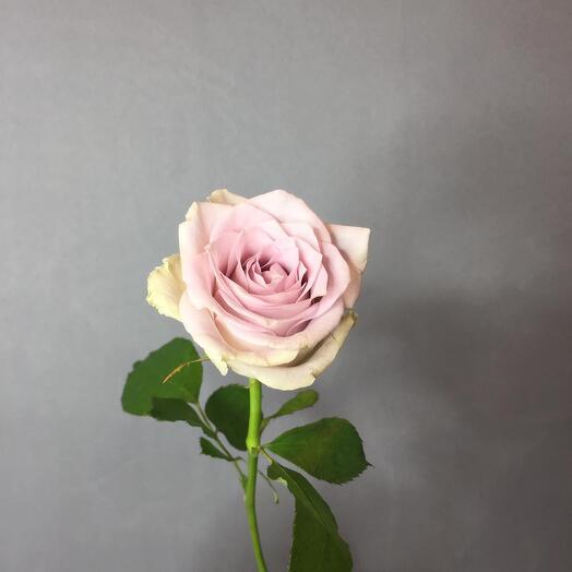 Пудровая Роза монинг дью