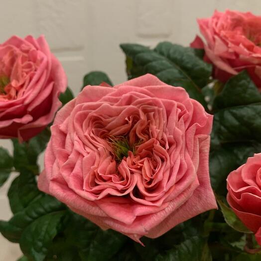 Эксклюзивные садовые розы Лондон Ай 70см
