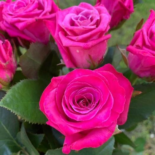Розы Космик