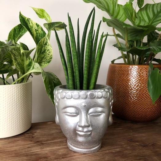 Сансевиерия цилиндрика в голове Будды