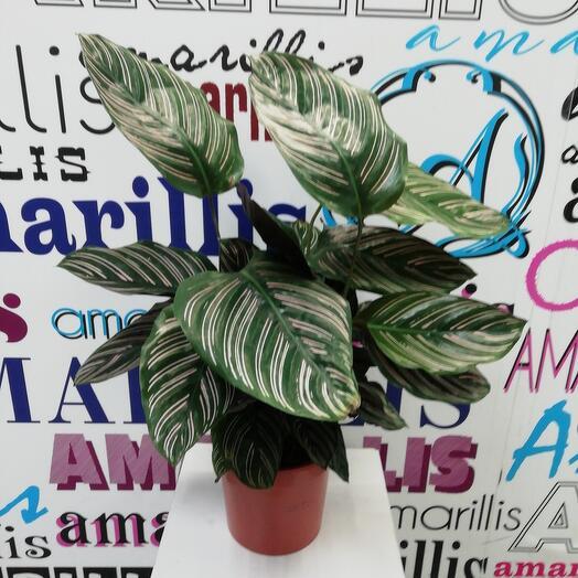 Комнатное растение Калатея сандериана Орната