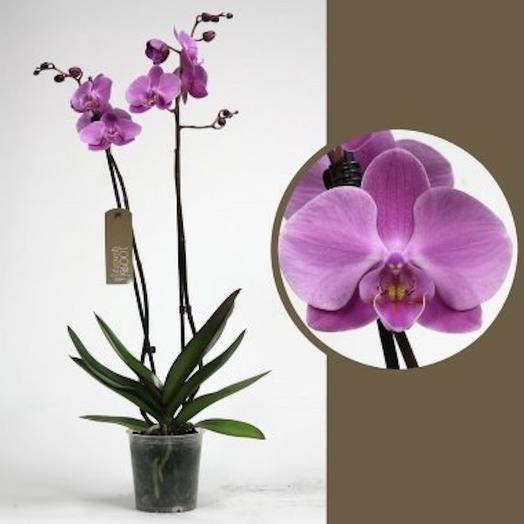 Фаленопсис в горшке 40 см: букеты цветов на заказ Flowwow