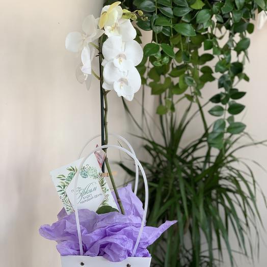 Белая орхидея сорта «фаленопсис»