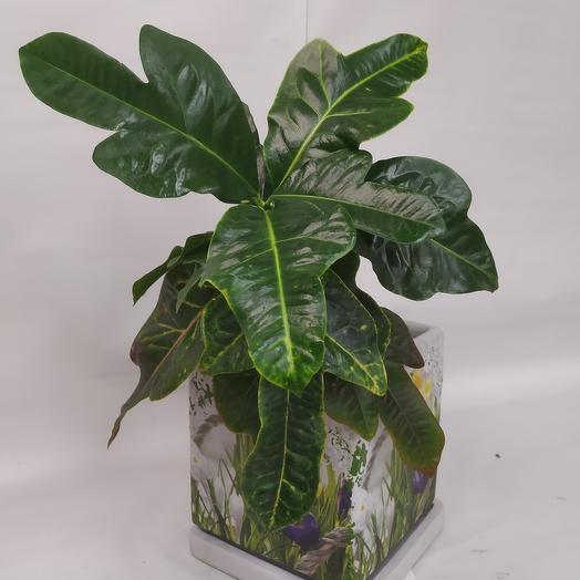 Комнатное растение Кодиеум