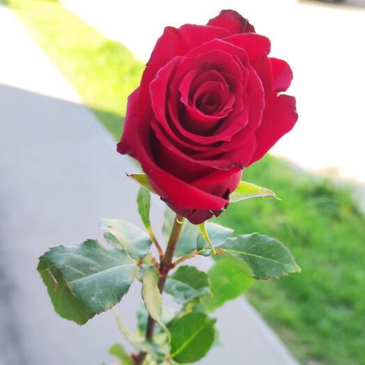 Эквадорская роза Explorer 85 см
