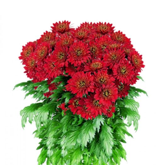 Букет из 21 красной хризантемы одноголовой: букеты цветов на заказ Flowwow